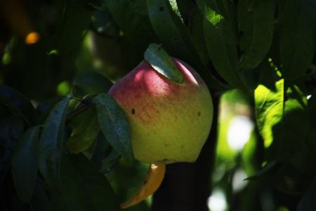 Fruit ripening on a tree