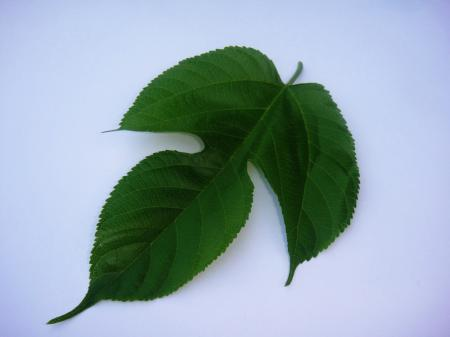 Fruit tree leaf
