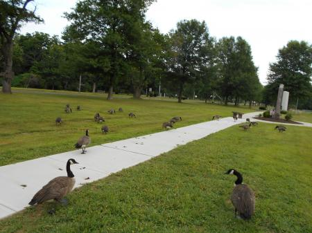 Geese in Bristol ct