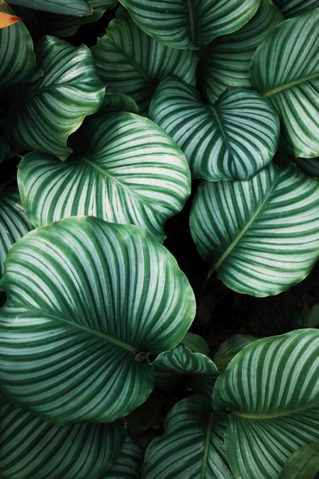 Giant Leaves