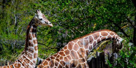 Giraffe couple is walking in sunny forest
