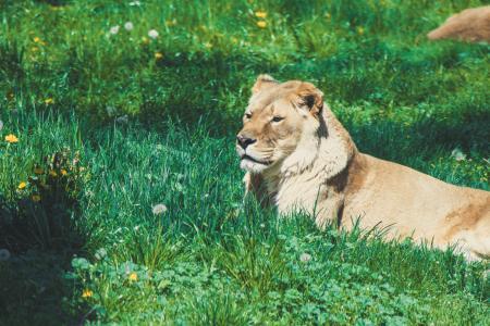 Golden lion lies in the soft grass