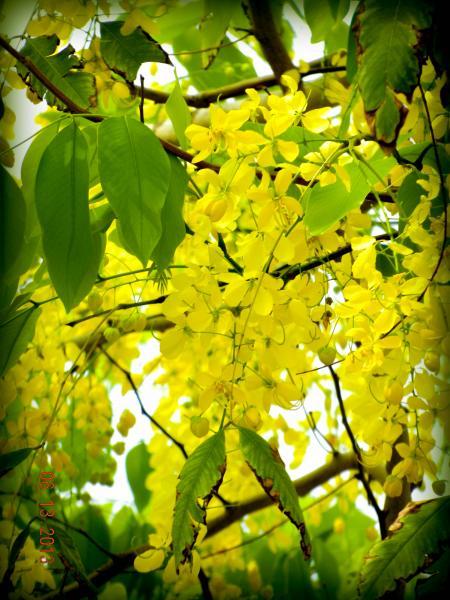 Golden Shower, Purga Cassia fistula