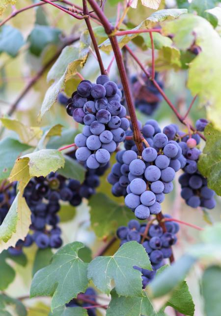 Grape vines at harvest time