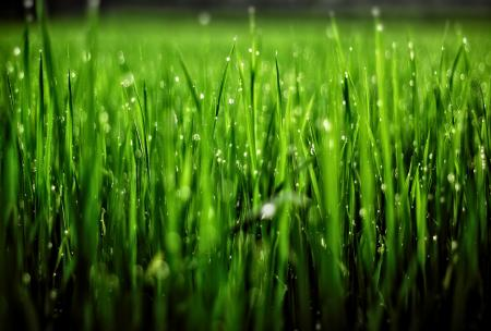 Grass with Droplets - Shallow Focus