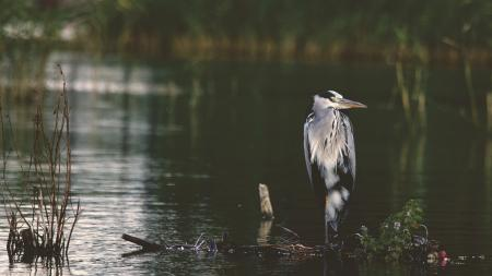 Gray and Black Bird in Body of Water during Daytime