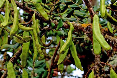 Green Carob Tree seed pods