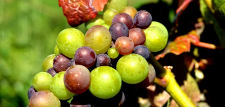 Green Grape Fruit