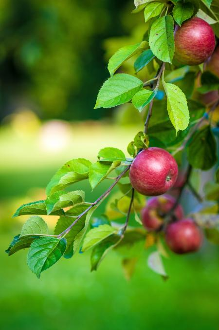 Green Leaves and Red Apple Fruit
