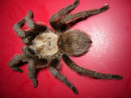 Large Hairy Spider