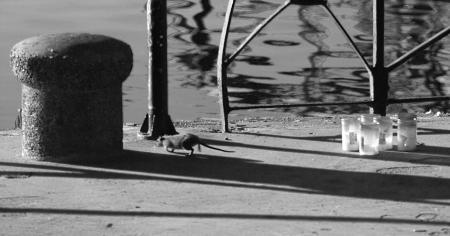Harbor Rat
