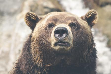 Head of Grizzly Bear