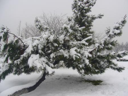 Heavy snow in the pines