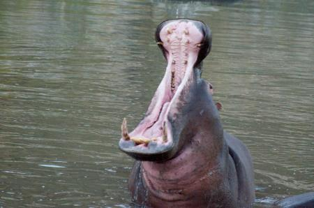 Open Hippo mouth