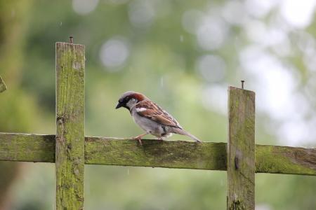 House Sparrow On A Fence
