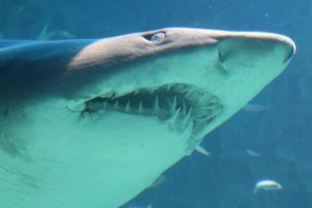 Huge shark in the ocean