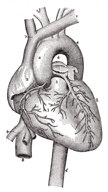 Human Heart Blood Vessels, Circa 1911