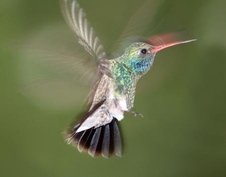 HUMMINGBIRD, BROAD-BILLED (7-19-10) male, yard, patagonia, az -02