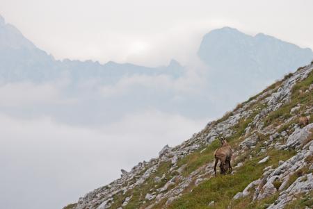 Ibex on the Mountain