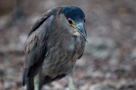 Immature Black-crowned Night Heron 1