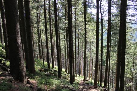 Inside Pine Forest