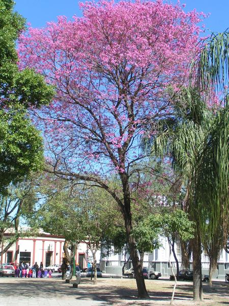 Ipe tree pink