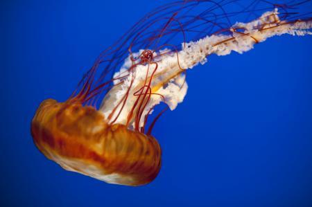 Jelly Fish Closeup