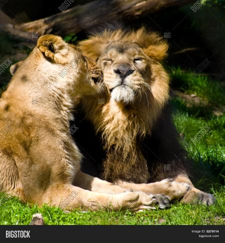 Kissing Lions