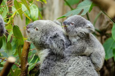 Koala Bear With Baby on Back