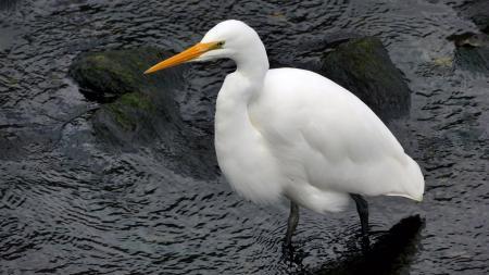 Kotuku, White heron, Egretta alba modesta,