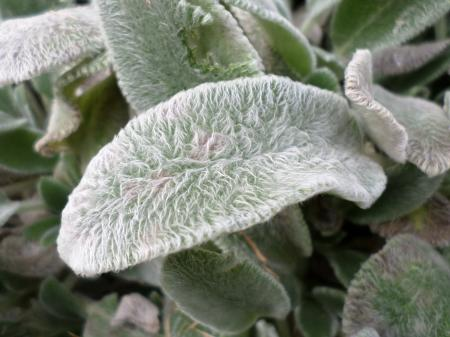 Lambs Ear or Stachys byzantina leaves