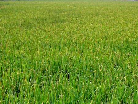 Large Chinese Rice Field