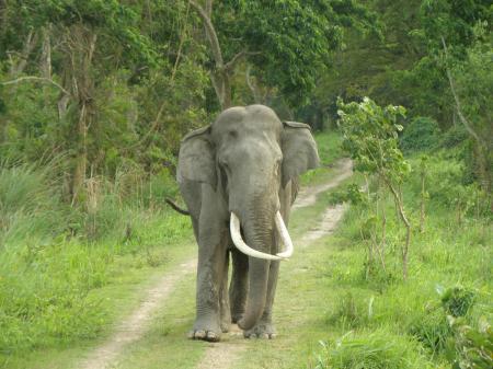 Large tusk elephant in jungle road