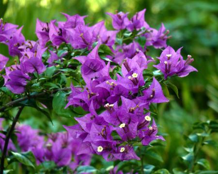 Lavender Bougainvillea Plant