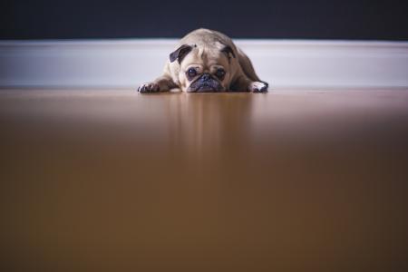 Lazy Bull Dog