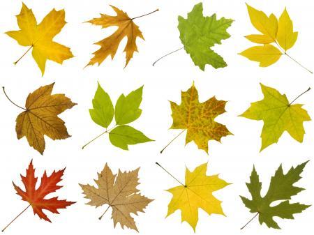 Purple maple leaves