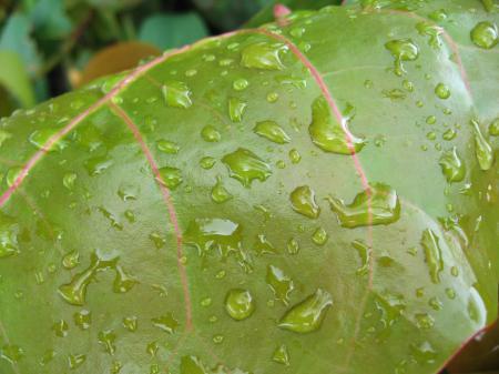 Leaf Drops, Florida, January 2007