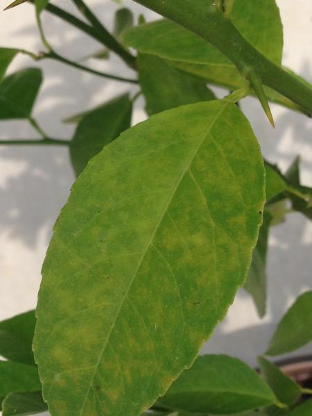 Lemmon plant leaf
