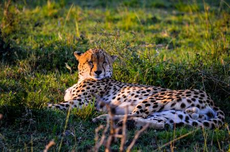 Leopard Lying On The Grass