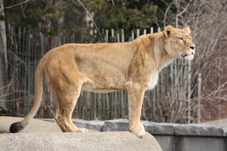 Lioness in profile