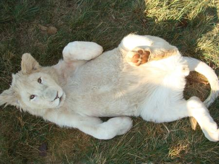 Lying Albino Tiger in the Grass