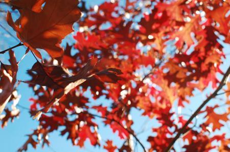 Maple Leaves over blue sky