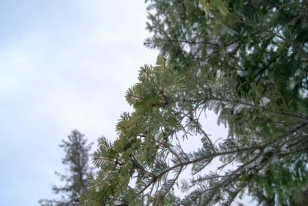 Marco of Pine Needles