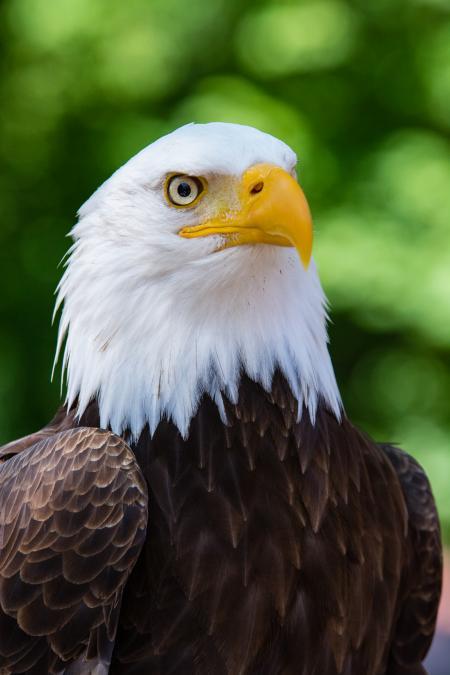 Max The Bald Eagle