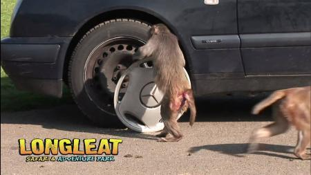Monkeys on car