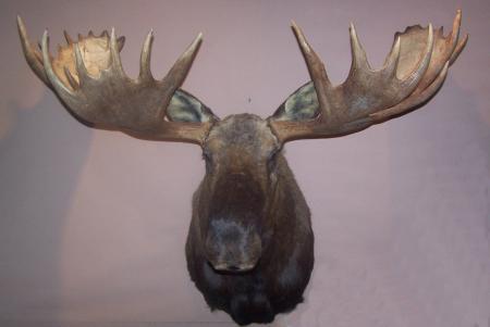 Moose trophy head