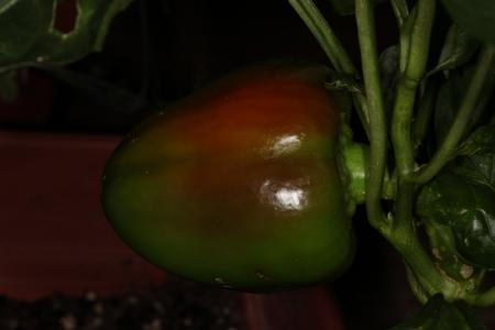 Multi color pimento pepper