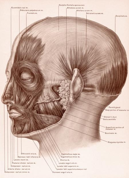 Muscles of Face and Scalp, Circa 1902