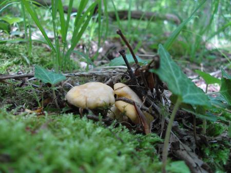 Mushroom Soxy