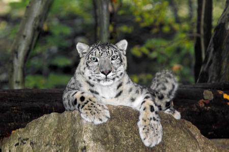 Not a Leopard